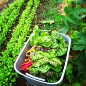 Greens (kale/chard/mustards/turnip greens/collards)